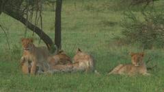 Lion pride Stock Footage