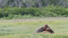 Stock Video Footage of Bears in friendly fight