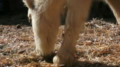 White Pony Eating Stock Footage