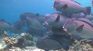 Stock Video Footage of A large school of Bumphead Parrotfish (Part 11)
