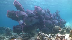 A large school of Bumphead Parrotfish (Part 8) Stock Footage