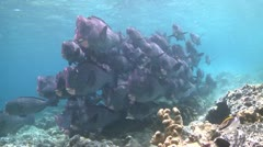 A large school of Bumphead Parrotfish (Part 6) Stock Footage