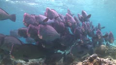 A large school of Bumphead Parrotfish (Part 9) Stock Footage