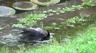 A Raven Washes Himself Stock Footage