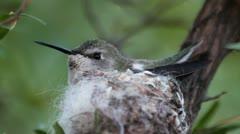 Hummingbird Nesting Close up Stock Footage