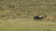 Female lion attacking a wildebeest Stock Footage