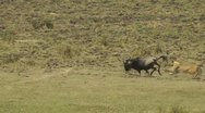 Stock Video Footage of Female lion attacking a wildebeest