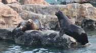 Stock Video Footage of Sea lions mating, competing, with sound