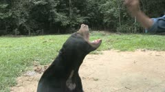 Baby sun bear Stock Footage