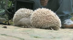 Hedgehogs Stock Footage