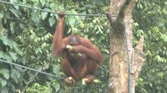 Stock Video Footage of orang-utan