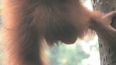 orang-utan - stock footage