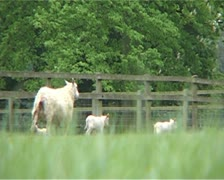 Mother sheep with baby lambs in field Stock Footage