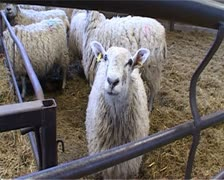 Sheep in farmyard pen. Stock Footage
