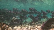 Stock Video Footage of A large school of Bumphead Parrotfish (Part 5)