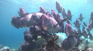 Stock Video Footage of A large school of Bumphead Parrotfish (Part 14)