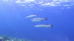 Blackfin Barracuda in shallow water for hunting. Stock Footage