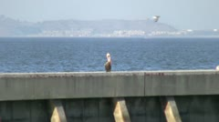 Pelican and Seagulls Stock Footage