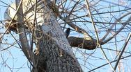 Stock Video Footage of Woodpecker on Tree