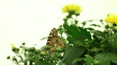 Painted Lady Butterfly (Vanessa cardui) Stock Footage