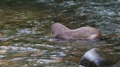 River Otter heaving lunch with a great appetite, shot in the wild in Ecuadorian Stock Footage