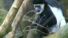 Colobus Monkey 2 Stock Footage