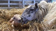 Slo-mo of mother sheep affectionately nuzzling her cute new born lamb. Stock Footage