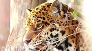 Agile jaguar Stock Footage