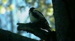 Great Spotted Woodpecker looking around ( Dendrocopos major ) Stock Footage
