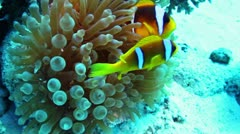 Clownfishes and anemone - stock footage