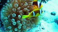 Clownfishes and anemone Stock Footage