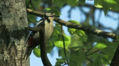 Woodpecker (Dendrocopos major) observe surround Stock Footage