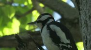 Great Spotted Woodpecker flying from the branch Stock Footage