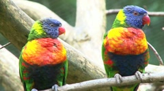 Two Colorful Parrots on Branch Stock Footage