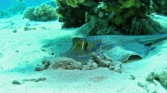 Blue spotted stingray Stock Footage