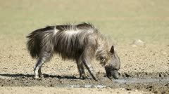 Brown hyena drinking water Stock Footage