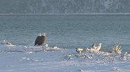 Pair of Bald Eagles on Log On Snowy Shore Stock Footage