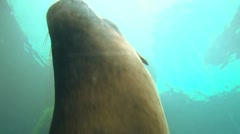 Up Close with Large Seal Swimming 2 Stock Footage