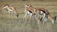Grazing springbok - stock footage