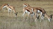 Stock Video Footage of Grazing springbok