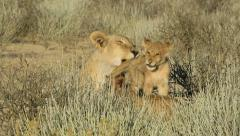 Lioness with small cubs, Kalahari desert, South Africa Stock Footage