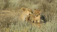 Stock Video Footage of Lioness with cubs