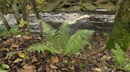Stock Video Footage of Fern at a riverbank