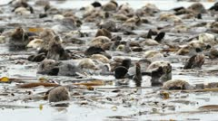 Sea Otter colony Stock Footage