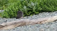 Stock Video Footage of Black Oystercatcher chick