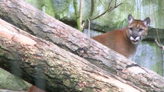 Stock Video Footage of Rare Florida Panther