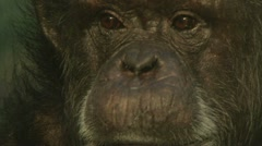 Wise Old Chimp 1 - stock footage