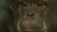 Stock Video Footage of Wise Old Chimp 1