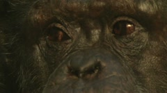 Wise Old Chimp 2 - stock footage
