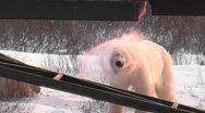 Wild curious polar bear mom Stock Footage